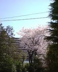 050409sakura