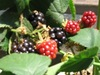 050806blackberry
