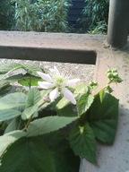 060604blackberry